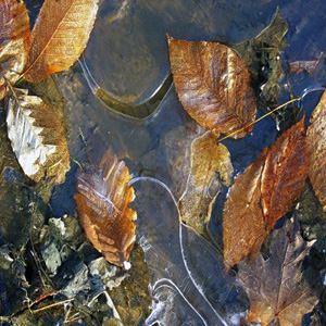 #23 Leaves under Ice